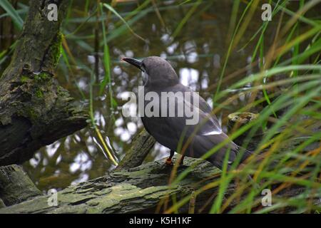 female of a larosterna inca at a stream, Larosterna Standing on a tree, Inca tern - Stock Photo