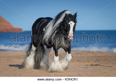 Gypsy CHorse Cob Vanner stallion on the beach - Stock Photo