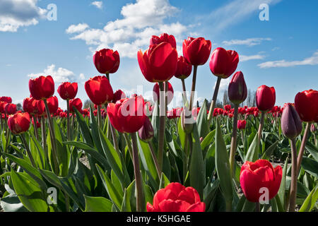A field of red tulips bloom on a sunny day during the annual Skagit Valley tulip festival in Washington State. - Stock Photo