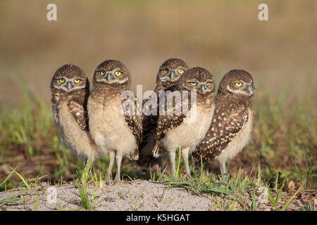Juvenile Burrowing Owls (Athene cunicularia) standing by burrow in Florida - Stock Photo