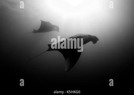 Giant Manta Ray (Manta birostris)  Two Giant Manta Rays filter feeding. These huge animals (with a wingspan of up - Stock Photo