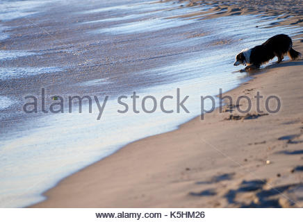 A Border Collie staring intently at a tennis ball, waiting for the ocean waves to return it to her; on the sandy - Stock Photo