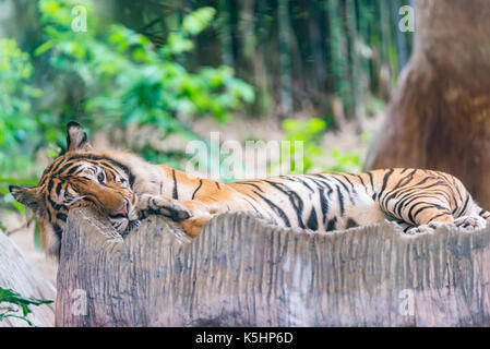 Resting tiger in zoo, tiger lying on stump, tiger looking at camera - Stock Photo