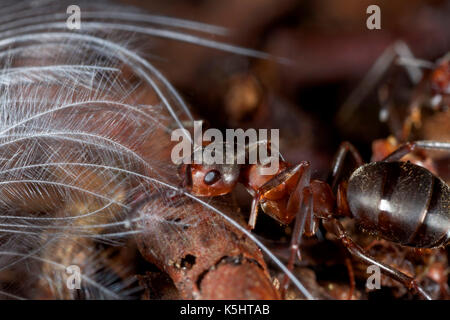 Close-up of the red wood ant, formica rufa Stock Photo