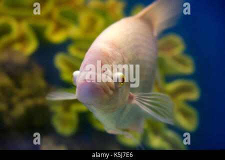 Close up Gourami or Trichogaster trichopterus - Stock Photo