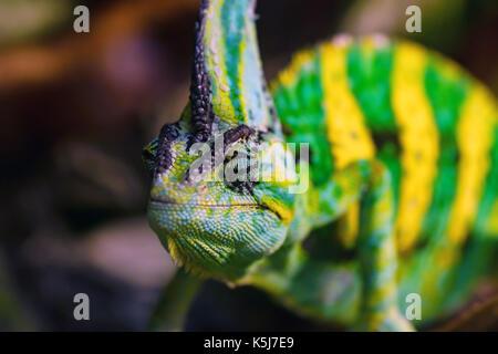 Close up Veiled chameleon or Chamaeleo calyptratus - Stock Photo