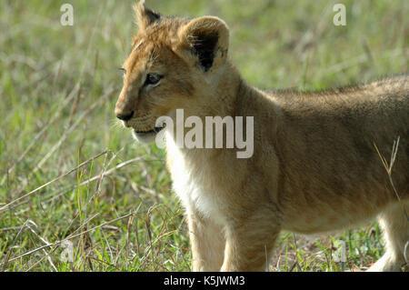 A Lion cub portrait. Taken in the Maasai Mara, Kenya - Stock Photo