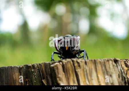 Endangered species of rosacea beetles. Lucanus cervus in nature. - Stock Photo
