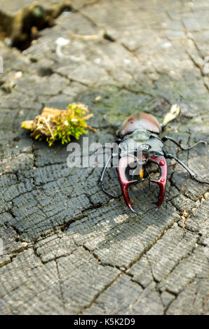 A large insect with horns. A terrible beetle. Vertical shot. Insect in nature. - Stock Photo
