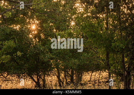 Golden stars of early morning autumn sunlight rays seen through shades of dark green leaves of pears trees, gold - Stock Photo