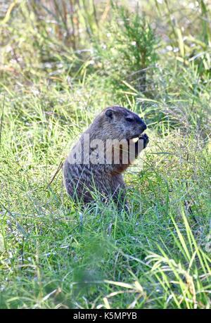 Groundhog (Marmota monax) standing on hind legs eating - Stock Photo