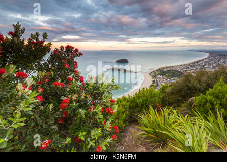 A flowering Pohutakawa tree with the view of Mount Maunganui in the background at sunset. - Stock Photo