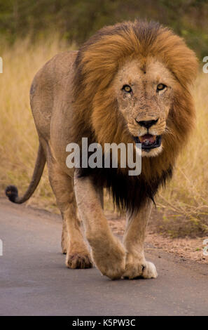 African lion (Panthera leo) strolling along Gomondwane Road, Kruger National Park, South Africa - Stock Photo
