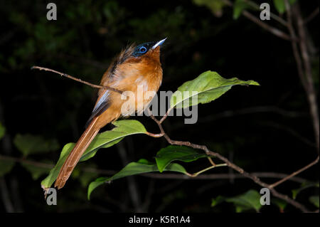 Madagascar paradise flycatcher, Terpsiphone mutata, Manafiafy Beach and Rainforest Lodge, Sainte Luce Bay, Madagascar - Stock Photo