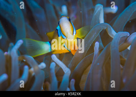 Yellowtail clownfish(Amphiprion clarkii, Bennett, 1830) and sea anemone (Entacmaea quadricolor, Leuckart in Rüppell - Stock Photo