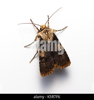 Shuttle shaped dart moth, Agrotis puta, on a white background - Stock Photo