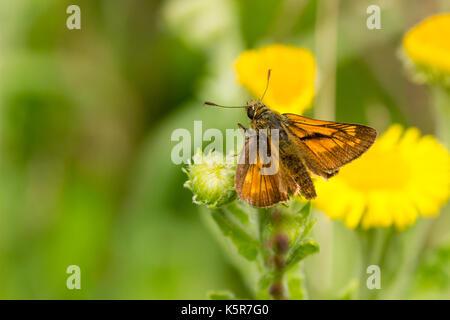 Male large skipper butterfly, Ochlodes sylvanus, resting on a flower head - Stock Photo