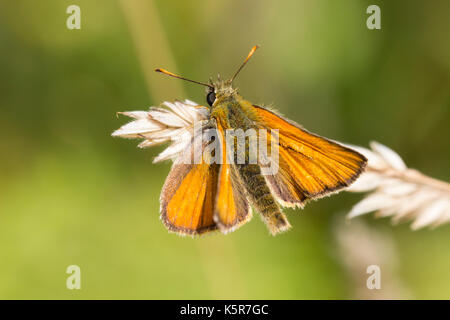Male small skipper butterfly, Thymelicus sylvestris, at rest on grass in a summer meadow - Stock Photo