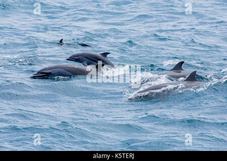Pantropical Spotted Dolphin pantropical spotted dolphin (Stenella attenuata) families surfacing, with at least two - Stock Photo