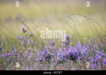 Blooming Heathers (Calluna vulgaris) and White beak-sedge (Rhynchospora alba), Emsland, Lower Saxony, Germany - Stock Photo