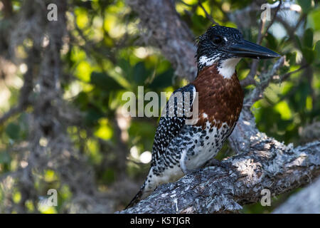Giant kingfisher (Megaceryle maxima) sits in the tree, iSimangaliso Wetland Park, KwaZulu-Natal, South Africa - Stock Photo