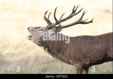 A Red Deer Stag (Cervus elaphus) Bellowing. - Stock Photo
