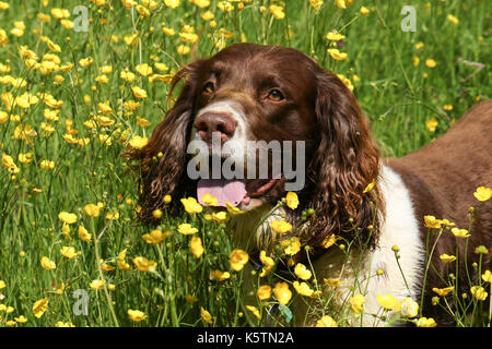 A cute English Springer Spaniel Dog (Canis lupus familiaris) in a field of wild buttercup flowers. - Stock Photo