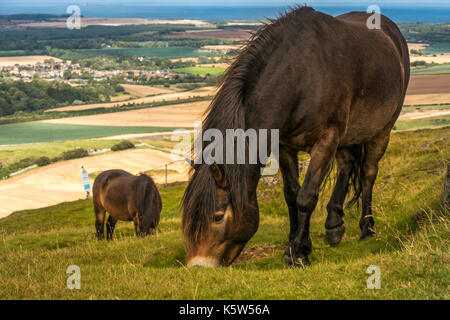 Close up of Exmoor ponies on Traprain Law, East Lothian, Scotland, UK; a grazing project to restore grass and encourage - Stock Photo