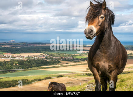 Close up of Exmoor pony with mane blowing in the wind, Traprain Law, East Lothian, Scotland, UK; a project to restore - Stock Photo