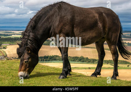 Semi feral Exmoor pony, Traprain Law, East Lothian, Scotland, UK, grazing to restore grass and encourage wildflowers, - Stock Photo