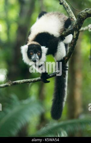 Black-and-white ruffed lemur, Varecia variegata, Palmarium Reserve, Lac Ampitabe, Pangalanes Canal, Madagascar - Stock Photo