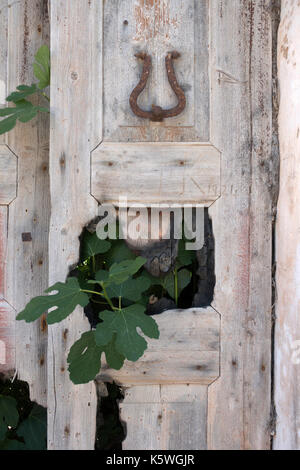 Detail of an old door with fig leaves growing through a broken panel, in a beautiful old house, damaged by the earthquake - Stock Photo