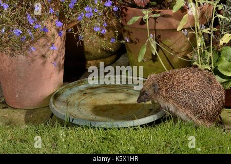 Hedgehog (Erinaceus europaeus) drinking from water bowl left out on a patio for hedgehogs, at night, Chippenham, - Stock Photo