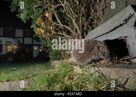 Hedgehog (Erinaceus europaeus) about to enter a hedgehog house at night in a suburban garden, Chippenham, Wiltshire, - Stock Photo