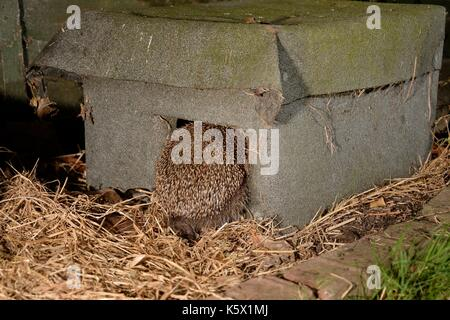 Hedgehog (Erinaceus europaeus) entering a hedgehog house at night in a suburban garden, Chippenham, Wiltshire, UK, - Stock Photo
