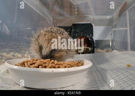 European Hedgehog (Erinaceus europaeus) feeding on hedgehog pellets in a hedgehog feeder box with a narrow entrance - Stock Photo
