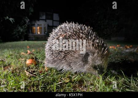 Hedgehog (Erinaceus europaeus) foraging on a lawn in a suburban garden at night, Chippenham, Wiltshire, UK, September. - Stock Photo