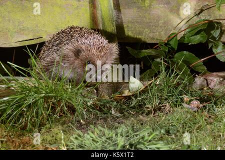 Hedgehog (Erinaceus europaeus) entering a suburban garden from the next door garden by squeezing through a gap in - Stock Photo