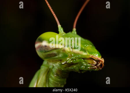 The European mantis (praying mantis) portrait - Stock Photo
