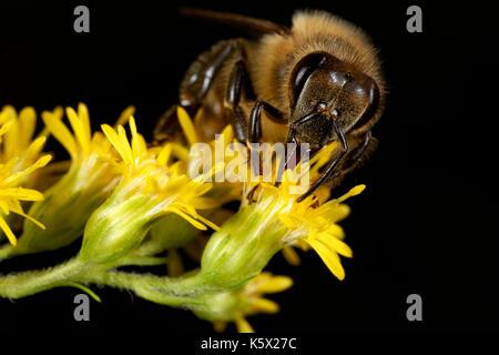 European honey bee on the flower - Stock Photo