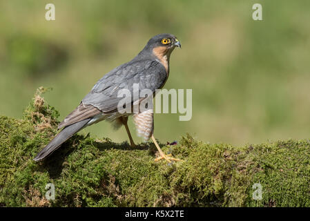 A profile portrait of a male sparrow hawk perched on a tree trunk covered in lichen looking to the right - Stock Photo