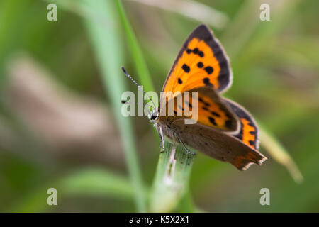 Small copper butterfly (Lycaena phlaeas) perched on grass. Small butterfly in the family Lycaenidae at rest, showing - Stock Photo