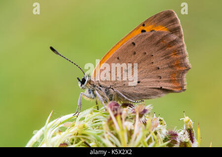 Small copper butterfly (Lycaena phlaeas) at rest in profile. Small butterfly in the family Lycaenidae, with underside - Stock Photo