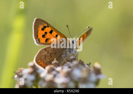 Small copper butterfly (Lycaena phlaeas) from below. Small butterfly in the family Lycaenidae nectaring on yarrow, - Stock Photo