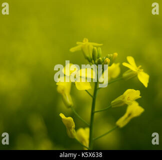 Bright yellow canola plant blooming in a farmer's field in Central Alberta, Canada - Stock Photo