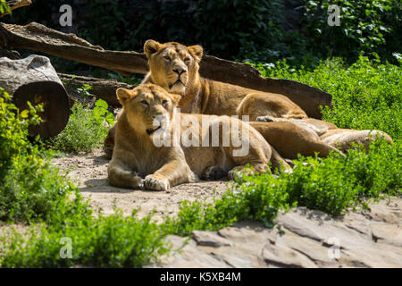 lion pride rests after hunting - Stock Photo