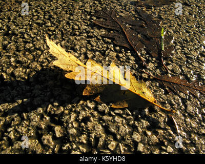 Oak leaf fallen from tree on wet gournd in autumn / fall - Stock Photo