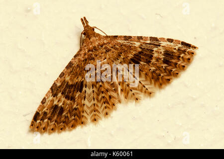 Twenty-plume Moth, Alucita hexadactyla, at rest on an old whitewashed wall - Stock Photo