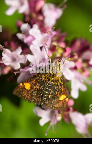 Day flying mint moth, Pyrausta aurata, feeding on thyme, Thymus vulgaris, in a Plymouth garden - Stock Photo