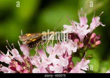 Day flying mint moth, Pyrausta aurata, feeding on thyme, Thymus vulgaris, in a Plymouth garden - Stock Photo